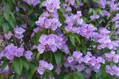 Blomma för vitlökvinranka royaltyfri bild