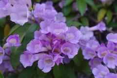 Blomma för vitlökvinranka arkivbild