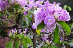 Blomma för vitlökvinranka royaltyfria foton