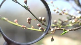 Blomma f?r blommak?rsb?r biologiforskning med förstoringsglaset Timelapse Tr?dblomning Natur stock video