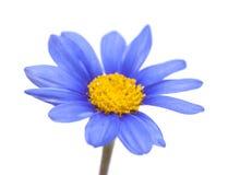 Blomma f?r buske f?r bl? tusensk?na arkivbilder