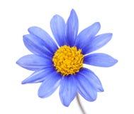 Blomma f?r buske f?r bl? tusensk?na royaltyfri bild