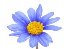Blomma f?r buske f?r bl? tusensk?na fotografering för bildbyråer