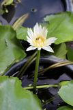 Blomma f?r vit lotusblomma i tr?dg?rd arkivfoto