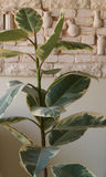 Blomma fikus på tabellen i det vita rummet Royaltyfria Bilder