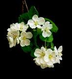 blomma filial för äpple Royaltyfri Bild