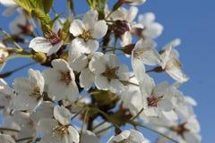 blomma filialCherry Royaltyfri Fotografi