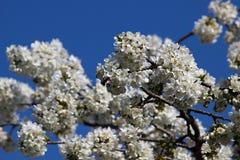 blomma filialCherry Royaltyfri Foto