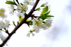blomma filialCherry Närbild Fotografering för Bildbyråer