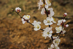 blomma filialCherryfjäder Royaltyfri Fotografi
