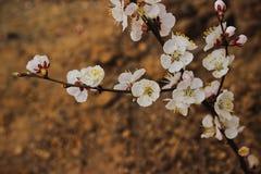 blomma filialCherryfjäder royaltyfria bilder