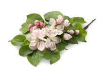 Blomma filialen av äpplet Royaltyfri Foto