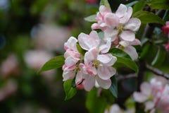 Blomma filialen av äppleträdet på vänstersidan på en suddig bakgrund arkivfoton