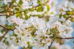 Blomma filialen av äppleträdet, tonat foto Arkivfoton