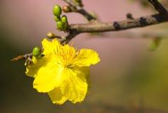 Blomma filialen av den gula aprikons Arkivbild
