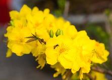 Blomma filialen av den gula aprikons med unga sidor Royaltyfria Bilder