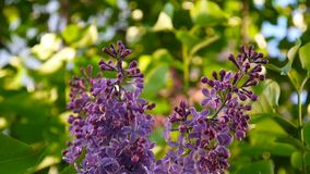 Blomma filialen av lila lilor syringa för leaf för closeupblommagreen vulgaris lila Kamera för makroskyttestatisk elektricitet Ob stock video