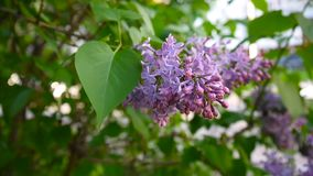 Blomma filialen av lila lilor syringa för leaf för closeupblommagreen vulgaris lila Kamera för makroskyttestatisk elektricitet Ob arkivfilmer