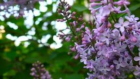 Blomma filialen av lila lilor syringa för leaf för closeupblommagreen vulgaris lila Kamera för makroskyttestatisk elektricitet Ob lager videofilmer
