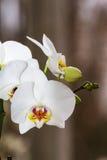 Blomma filialen av orkidéphalaenopsis royaltyfria foton