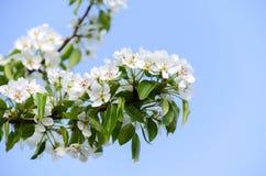 Blomma filialen av päronet Att blomma fjädrar trädgården Blommar päron c Arkivbild