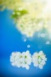 Blomma filialen av plommonet Fotografering för Bildbyråer