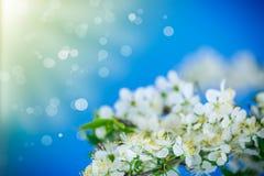 Blomma filialen av plommonet Arkivfoton