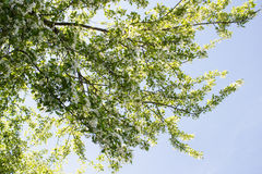 Blomma filialer av äppleträdet mot den blåa himlen Royaltyfri Bild
