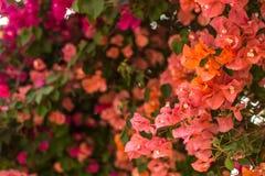 Blomma filialer av bougainvillean Arkivfoton