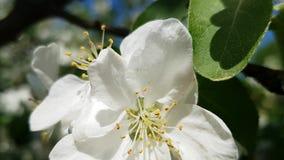 Blomma filialer av det körsbärsröda trädet med härliga vita blommor Stamens, pistillar och sidor En liten vind skakar filialerna stock video