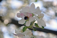 Blomma filialer av ett äppleträd med vita blommor och knoppar Arkivfoton
