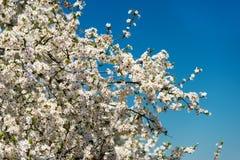 Blomma filialer av plommonträdet i en vår arbeta i trädgården royaltyfria foton