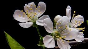 Blomma filialer på en svart bakgrund stock video