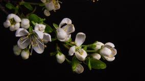 Blomma filialer p? en svart bakgrund lager videofilmer
