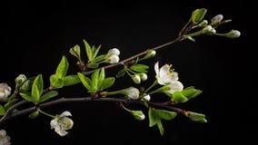 Blomma filialer p? en svart bakgrund stock video