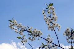 Blomma filialkörsbäret Arkivbild