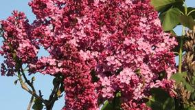 blomma filiallila lager videofilmer