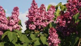 blomma filiallila stock video