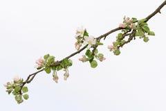 blomma filialtree för äpple Royaltyfri Fotografi