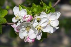 blomma filialtree för äpple Royaltyfri Foto