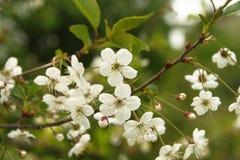 blomma filialtree för äpple arkivfoton