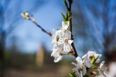 blomma filialtree för äpple arkivbilder