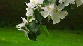 blomma filialtree f?r ?pple lager videofilmer