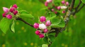 blomma filialtree f?r ?pple stock video