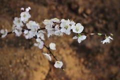 Blomma filialvåren Royaltyfri Fotografi