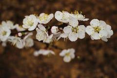 Blomma filialvåren Fotografering för Bildbyråer