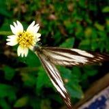 Blomma fjäril Arkivfoto