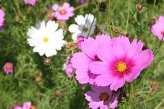 Blomma flora, mjölktand, blom, blomning Royaltyfri Bild