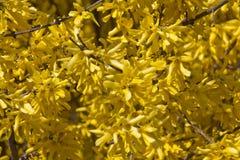 blomma forsythia Arkivbild