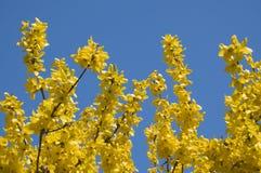 blomma forsythia yellow f?r fj?der f?r ?ng f?r bakgrundsmaskrosor full Gula blommaträdfruncher arkivfoto